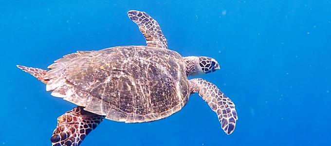 西表島のウミガメ