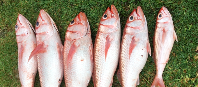 西表島で釣れた魚