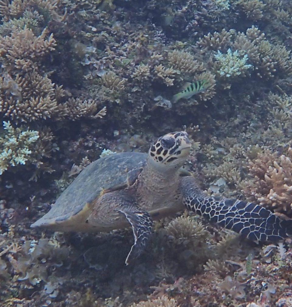 シュノーケルで見るウミガメ