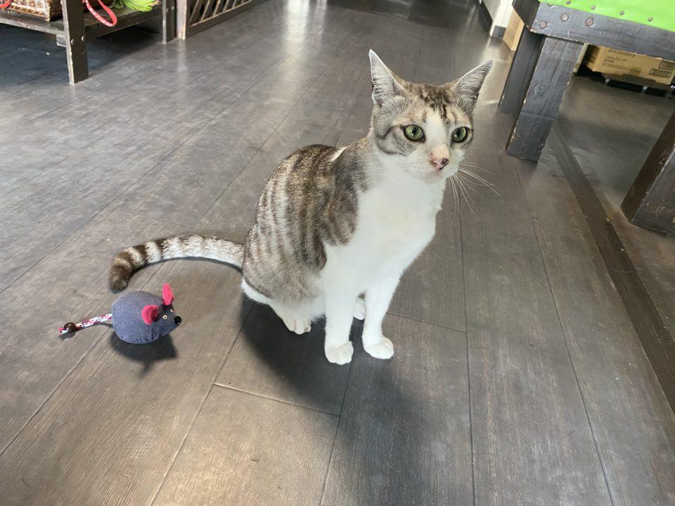 イリオモテイエ猫