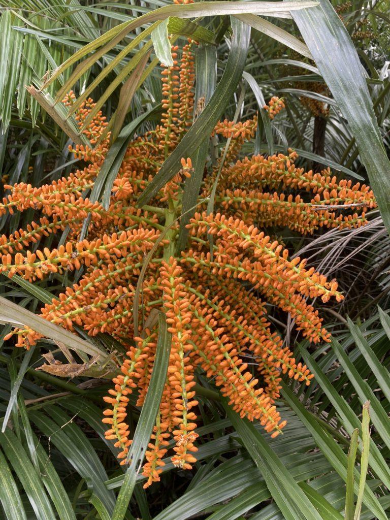 コミノクロツグの花