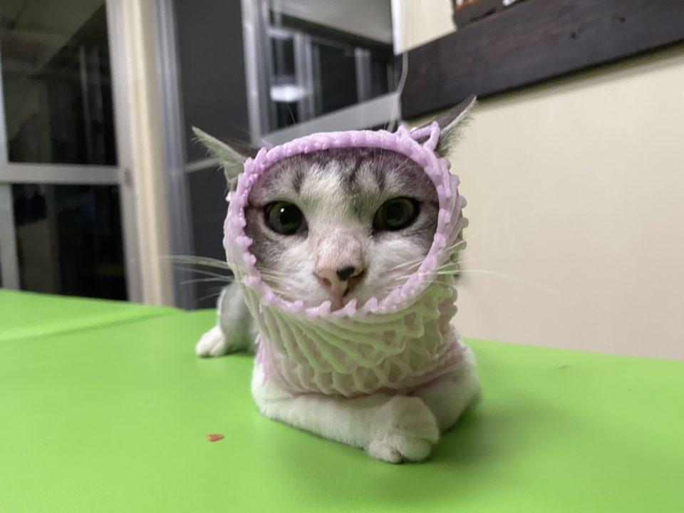 桃のネットをかぶる猫