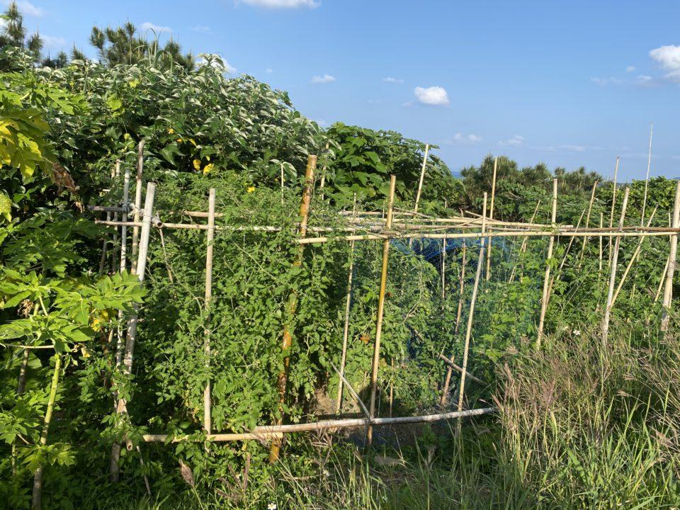 沖縄自然栽培