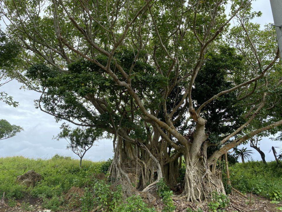 鳩間島の木