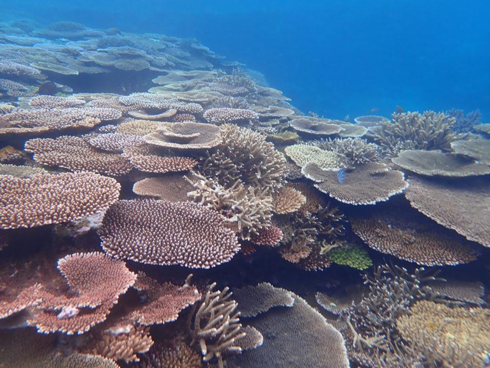 西表島の珊瑚
