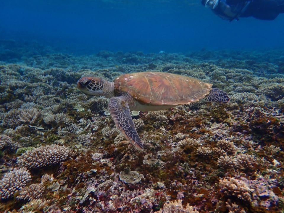 シュノーケルで亀と泳ぐ