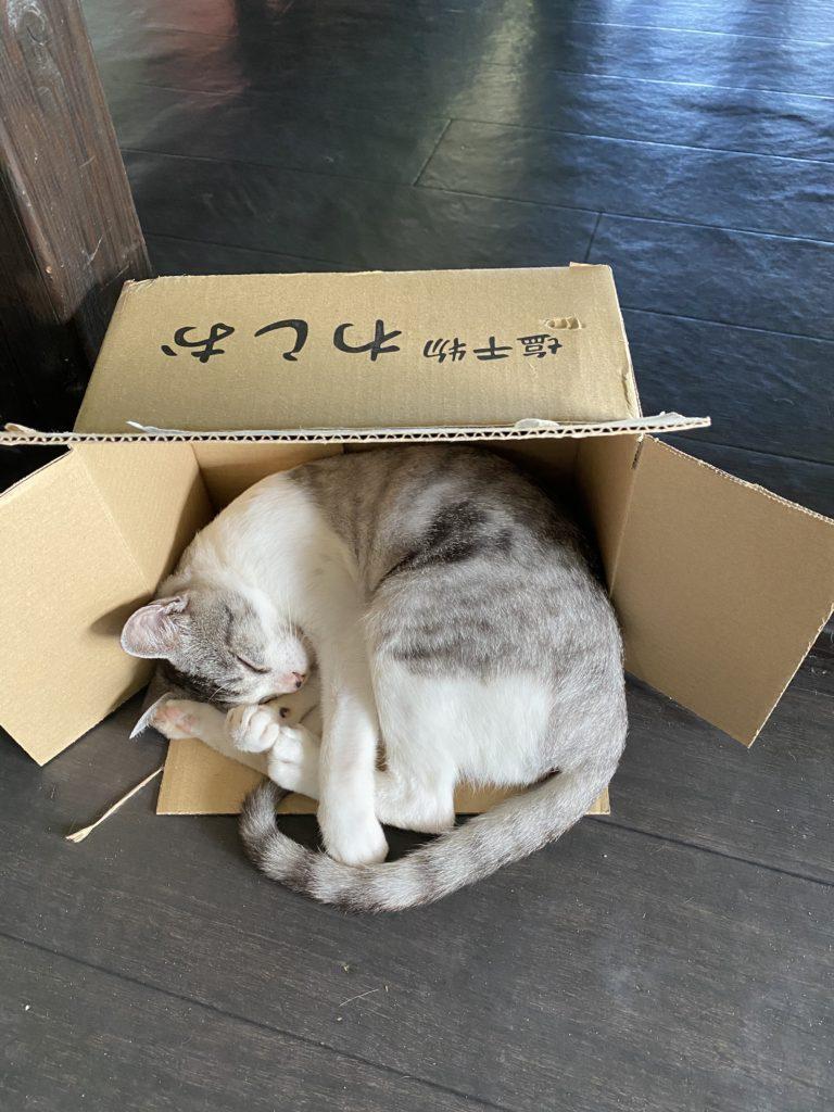 イリオモテ家猫