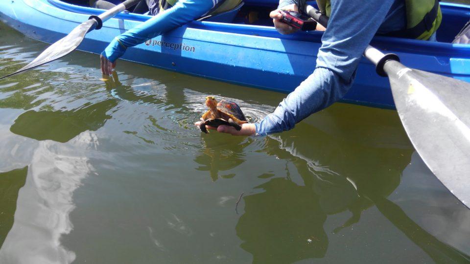 泳ぐセマルハコガメ