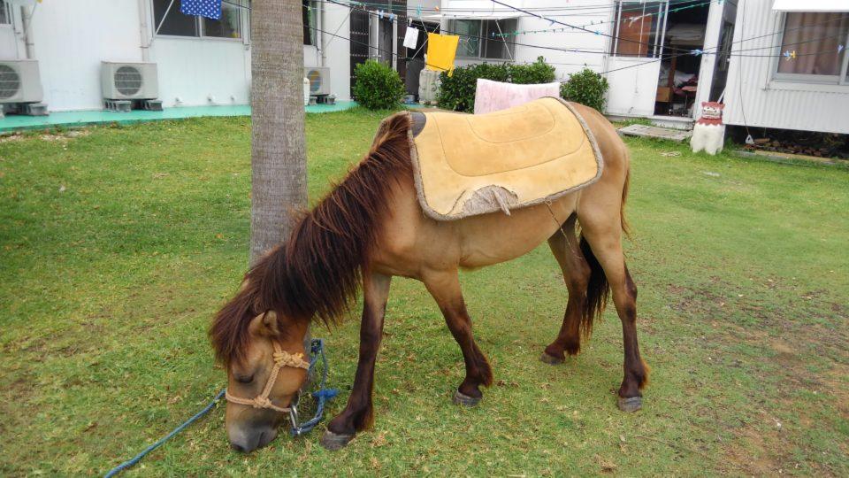 鞍下ゼッケンに慣れる仔馬