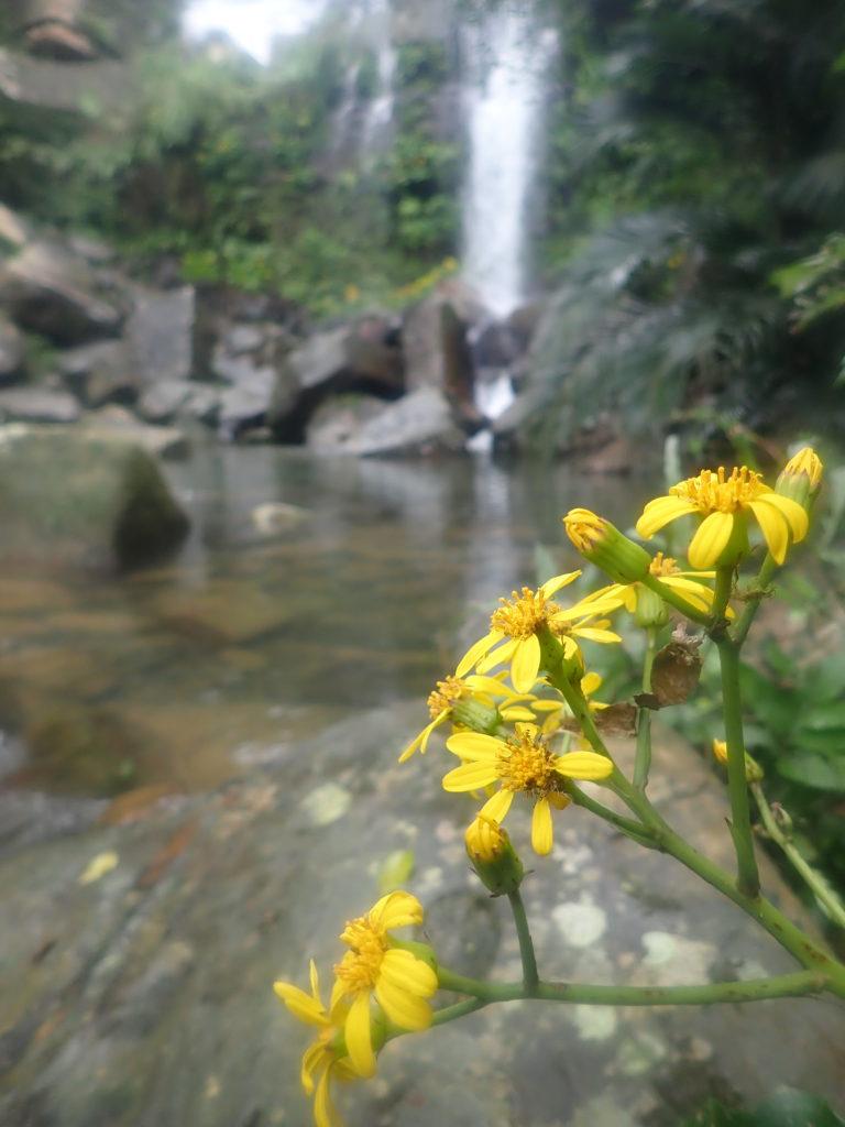 リュウキュウツワブキと滝