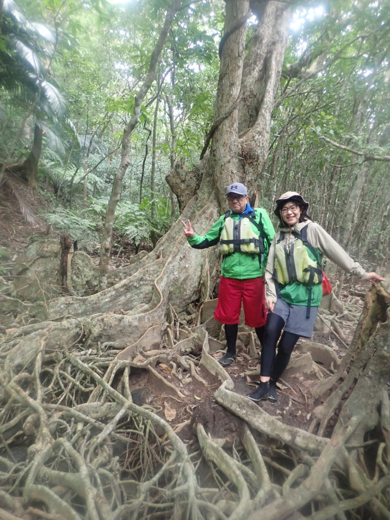 西表島の木の根