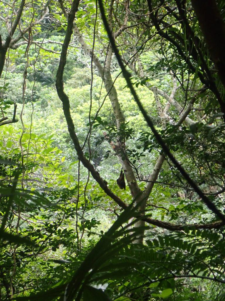 八重山オオコウモリ