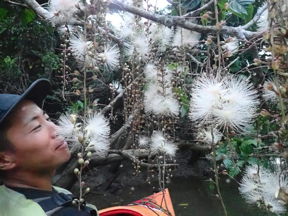 西表島のサガリバナの香り