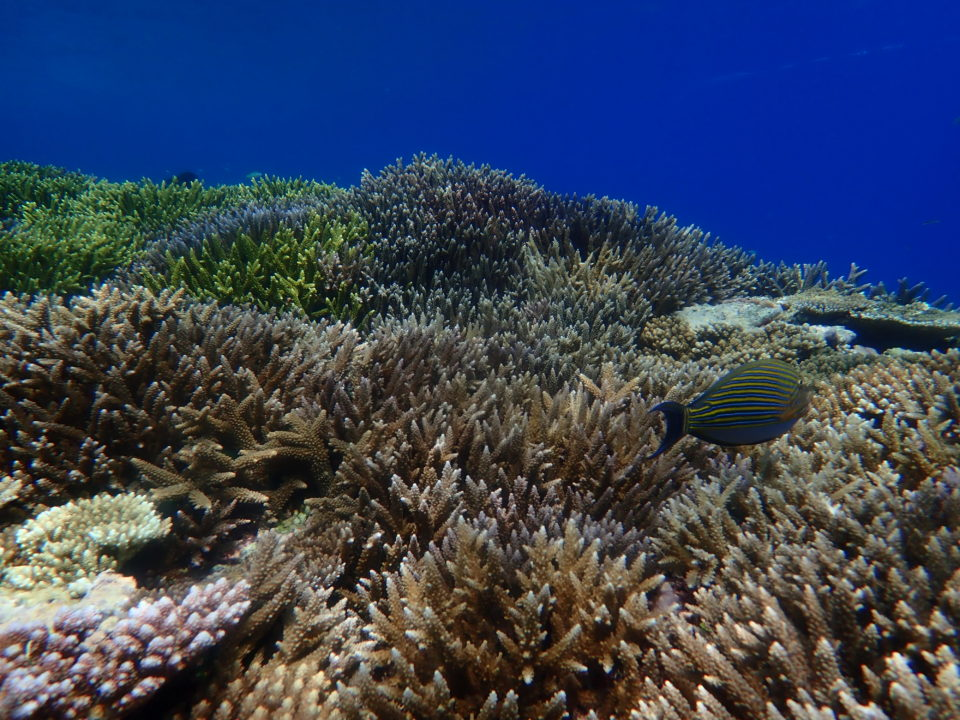 シュノーケルツアーで見られる珊瑚