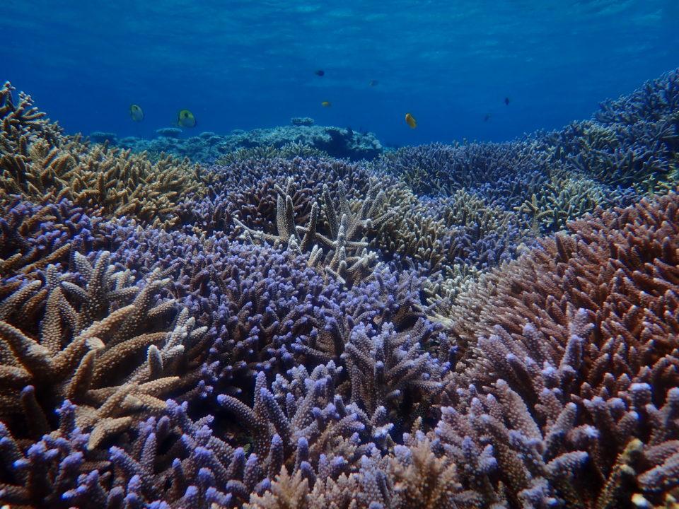 青い枝珊瑚