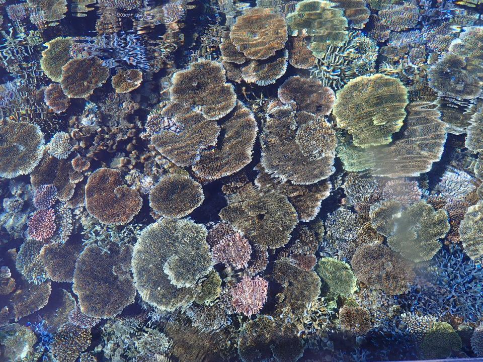 西表島珊瑚