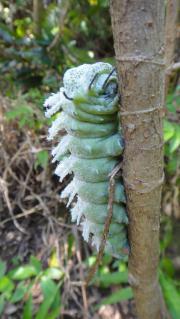 ヨナグニサン幼虫