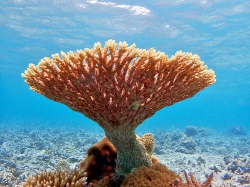 サンゴ 西表島